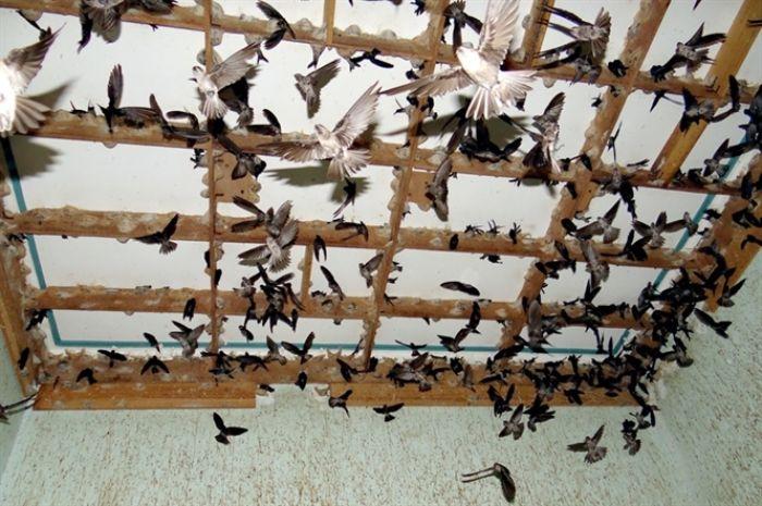 một số doanh nghiệp cũng áp dụng kỹ thuật nuôi chim yến lấy tổ chuyên nghiệp để xây dựng mô hình này.