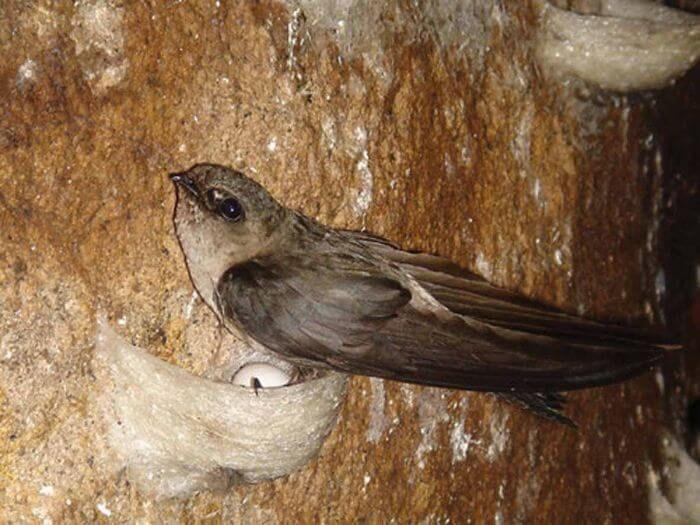 Chim yến hàng có tên khoa học là Aerodramus fuciphagus