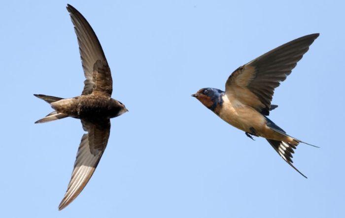 Chim yến là loại chim rừng sống phổ biến tại Đại Tây Dương và sở hữu tên tiếng anh là Canario