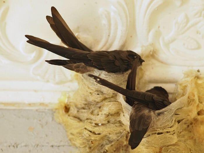 Tổ yến đắt do được hình thành lâu dài từ chim yến