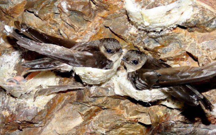 Thời gian đủ để chim làm được tổ là khoảng 28 - 30 ngày, sau đó chúng sẽ đẻ trứng và ấp khoảng 30 ngày