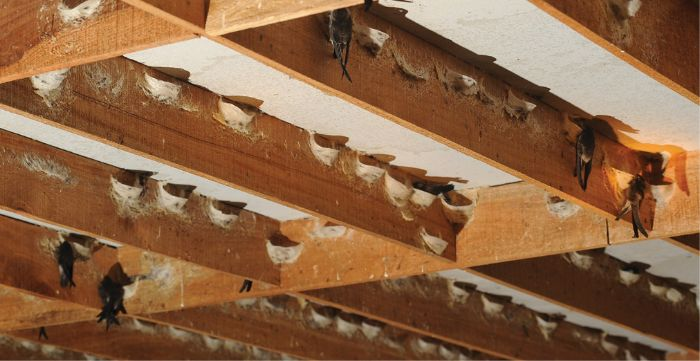 Nếu muốn sở hữu tổ yến chất lượng nhất, có độ dày, trọng lượng lớn thì nên thu hoạch sau khi chim yến đã rời tổ.